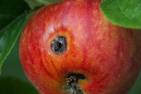 Logoen til FrP er eit eple; her er det sanne eplet. ©rgermann, flickr